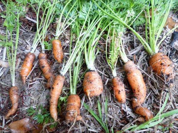 Gourmet Wog carrots