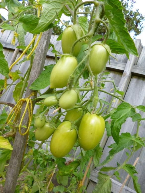 Gourmet Wog green tomatoes