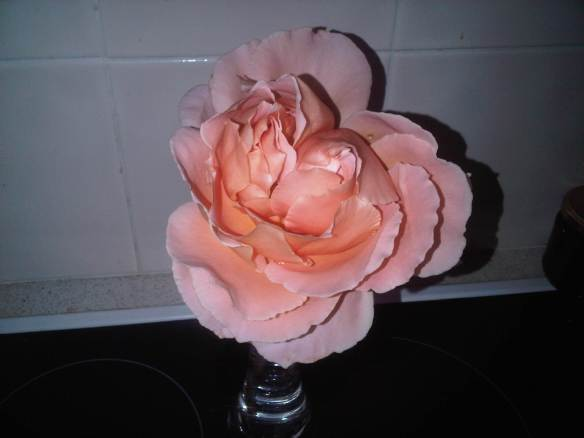 huge orange peach rose