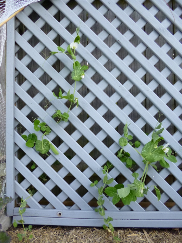peas on lattice