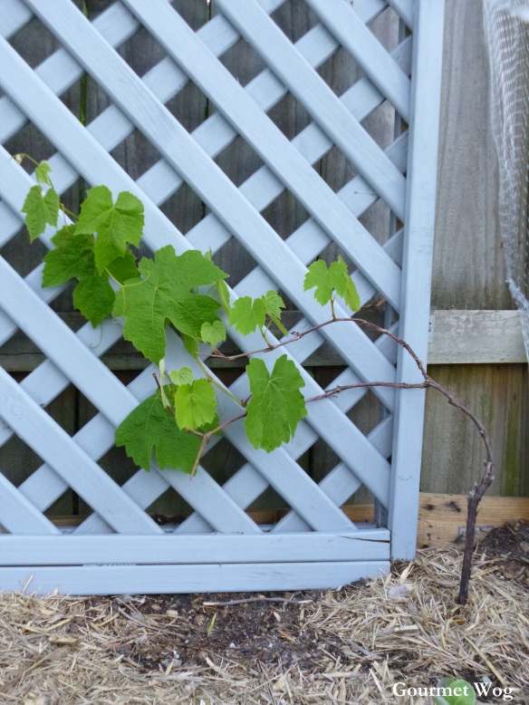 dolma leaf grape vine