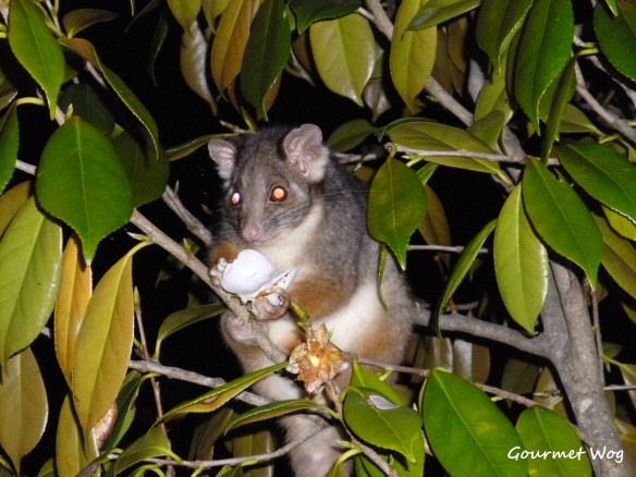 possum in camelia tree