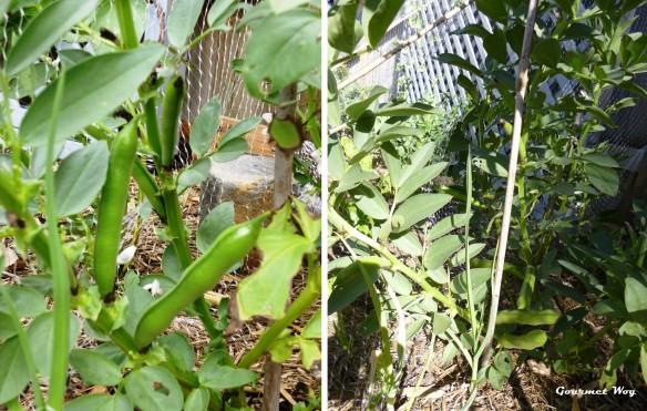 broadbean plant