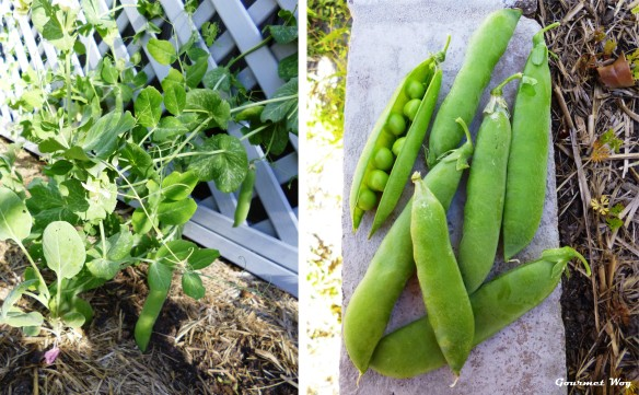fresh peas plant