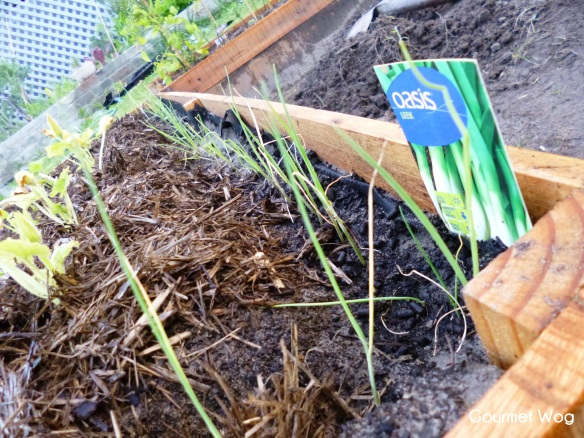 growing leek plants